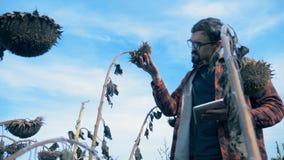 De mens bekijkt dode zonnebloemen op een de landbouwgebied tijdens een droogte Beschadigd gewassenconcept stock video