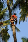 De mens beklimt op een boom om gewas van te oogsten cocoes Stock Foto
