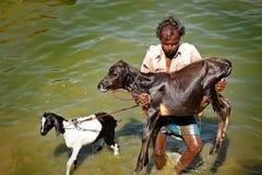 De mens die van India zijn koe dragen Stock Afbeeldingen