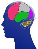 De mens en de hersenen Royalty-vrije Stock Foto