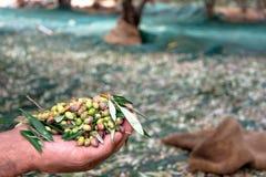 De mens houdt enkele geoogste verse olijven op een gebied in Kreta, Griekenland voor olijfolieproductie, gebruikend groene netten Stock Foto's