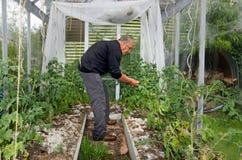 De mens kweekt tomaten in serre Stock Foto