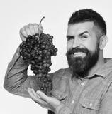 De mens met baard houdt bos van zwarte die druiven op witte achtergrond worden geïsoleerd Wijnbouw en het tuinieren concept wineg royalty-vrije stock afbeeldingen