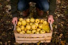 De mens neemt houten doos van gele rijpe gouden appelen in het boomgaardlandbouwbedrijf op Kweker het oogsten in de tuin houdt or royalty-vrije stock fotografie
