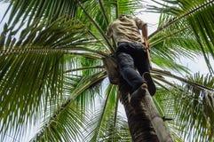 De mens neemt kokosnoot van palm op Royalty-vrije Stock Afbeelding