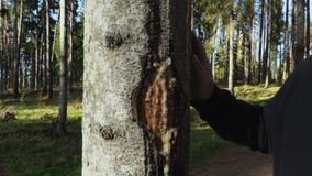 De mens onderzoekt pijnboomhars op de boomboomstam stock video