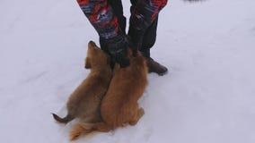 De mens petting rode honden op witte sneeuw Huisdieren met gastheer op de wintergang Huisdieren met nakomelingen stock video