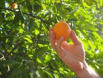 De mens plukt omhoog een sinaasappel van boomtak met de hand royalty-vrije stock afbeelding