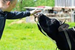 De mens raakt de koe` s neus royalty-vrije stock fotografie