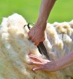 De mens scheert skillfully wol van een schaap Stock Foto