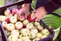 De mens slaat de geoogste appelen van mand aan het fruitkrat op Royalty-vrije Stock Afbeeldingen