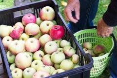 De mens slaat de geoogste appelen van mand aan het fruitkrat op Royalty-vrije Stock Foto's