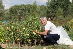 De mens stelt in tomatentuin Royalty-vrije Stock Fotografie