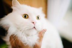 De mens strijkt een wit pluizig kattenclose-up Zorg voor huisdieren stock afbeeldingen