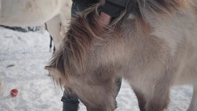 De mens strijkt snuit aanbiddelijke kleine poney bij boerderij dichte omhooggaand Concept het paardfokken Langzame Motie stock videobeelden