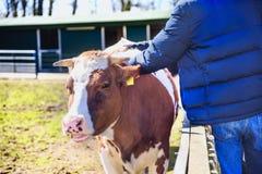 De mens van landbouwer strijkt het kalf in koeiestal op melkveehouderij royalty-vrije stock afbeelding