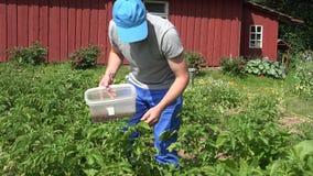 De mens verzamelt de kever verse aardappel van parasietcolorado in tuin 4K stock footage