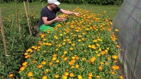De mens verzamelt goudsbloembloesem in de rieten tuin van de mandbloem 4K stock video
