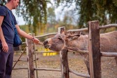 De mens voedt een mooie ezel stock afbeeldingen
