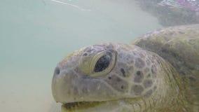De mens voedt het grote zeeschildpad zwemmen onderwater in de oceaan stock footage