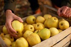 De mens zet gele rijpe gouden appel aan een houten doos van geel bij het boomgaardlandbouwbedrijf Kweker het oogsten in de tuin e stock foto
