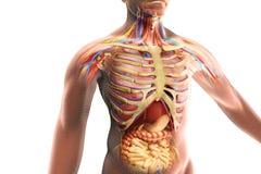 De menselijk lichaamsanatomie stock illustratie