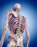 de menselijke anatomie stock illustratie