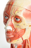 De menselijke anatomie van het gezicht Stock Foto