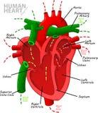 De menselijke anatomie van het hartdiagram royalty-vrije illustratie