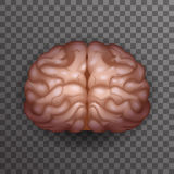 De menselijke de Affiche Transparante van het van Achtergrond Brain Realistic 3d van het het Modelontwerp Pictogrammalplaatje Vec Royalty-vrije Stock Afbeeldingen