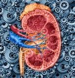 De menselijke Functie van de Nier stock illustratie