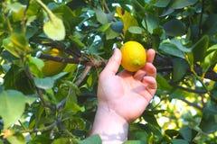 De menselijke hand breekt een citroen van boomtak royalty-vrije stock fotografie