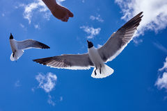 De menselijke hand voedt een zeemeeuwvogel die in de blauwe hemel vliegen Stock Afbeeldingen