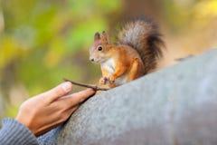 De menselijke handen en de rode eekhoorn Stock Afbeeldingen