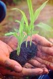 De menselijke handen planten zaailingen van graan Stock Afbeeldingen