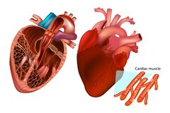De menselijke hartanatomie stock illustratie