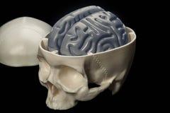 De menselijke hersenen in de schedel - een lay-out voor studenten Stock Fotografie