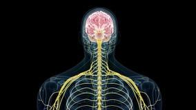 de menselijke hersenen en de zenuwen royalty-vrije illustratie