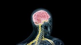de menselijke hersenen en de zenuwen stock illustratie