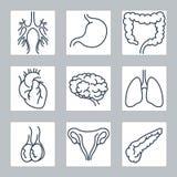 De menselijke interne geplaatste pictogrammen van de organenlijn Stock Foto
