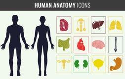 De menselijke reeks van de orgaananatomie Vector Royalty-vrije Stock Afbeelding