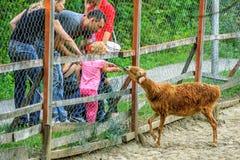 De mensen in de dierentuin voeden een bruine Nubian-geit door grating stock afbeeldingen