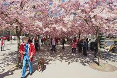 De mensen genieten van lopend onder tot bloei komende kersenbomen in Kungstradgarden in Stockholm, Zweden Royalty-vrije Stock Foto