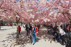 De mensen genieten van lopend onder tot bloei komende kersenbomen in Kungstradgarden in Stockholm, Zweden Stock Afbeelding