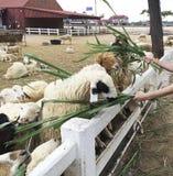 De mensen geven voedsel en gras aan voerschapen bij Schapenlandbouwbedrijf Stock Foto