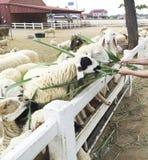 De mensen geven voedsel en gras aan voerschapen bij Schapenlandbouwbedrijf Stock Fotografie