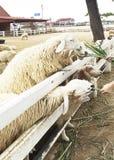 De mensen geven voedsel en gras aan voerschapen bij Schapenlandbouwbedrijf Royalty-vrije Stock Afbeeldingen