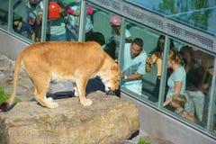 De mensen letten op leeuw royalty-vrije stock afbeelding