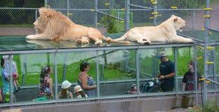 De mensen letten op leeuw stock afbeeldingen