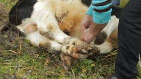 De mensen op het landbouwbedrijf snijden en ontmantelen het karkas van een jong kalf, close-up, kalf stock footage